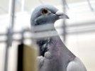 Птица высокого полета: почтовый голубь продан за треть миллиона долларов