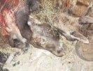 В Первоуральском зоопарке голодают животные, их кормят умершими лосями. Видео. Фото