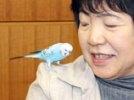 Японский попугай, угодив в полицию, назвал свой домашний адрес