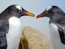 Страшную правду о пингвинах скрывали 100 лет: эти птицы очень жестоки