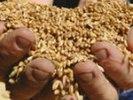 Птицефабрике Первоуральска вернули 150 тонн арестованного зерна