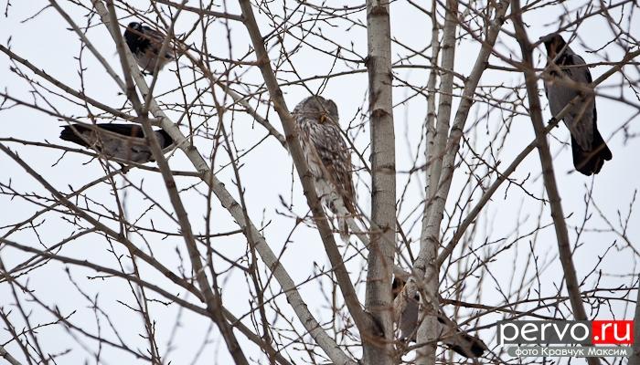 В Первоуральск залетела лесная сова. Фото. Видео