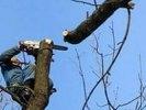 В Первоуральске коммунальщики продолжают кронирование тополей. Видео
